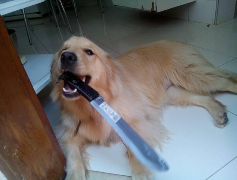 Adestrador de Cães Golden Retriever Raposo Tavares - Adestrador e Hotel para Cães