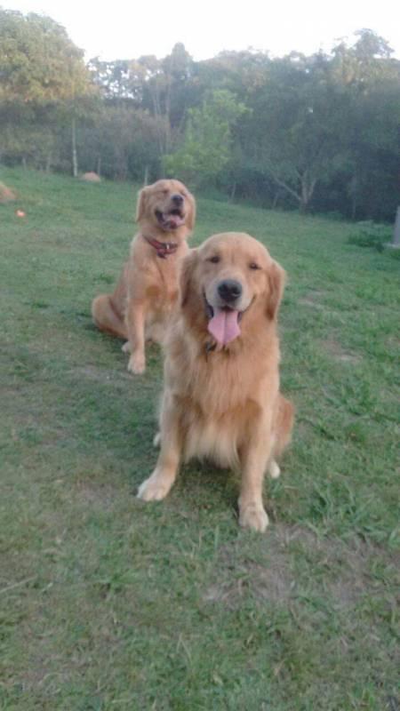 Adestrador de Cães Golden Jardim Bonfiglioli - Adestrador e Hotel para Cães