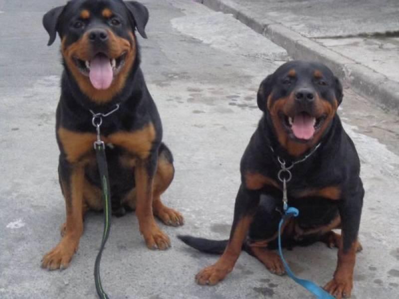 Aluguel Cão de Guarda Quanto Custa Rio Pequeno - Treinador de Cão de Guarda