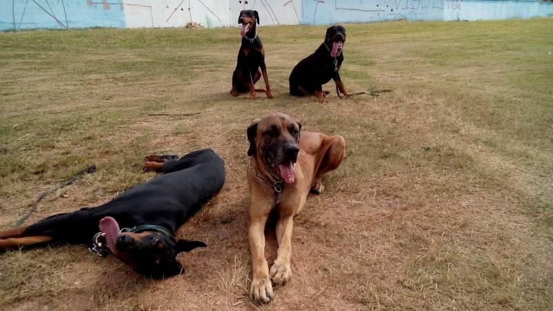 Locação de Cachorro de Guarda Carapicuíba - Alugar Cachorro para Guarda