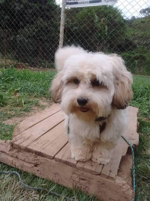 Onde Encontro Creche e Day Care para Cães Bela Vista - Creche de Cachorros Golden Retriever