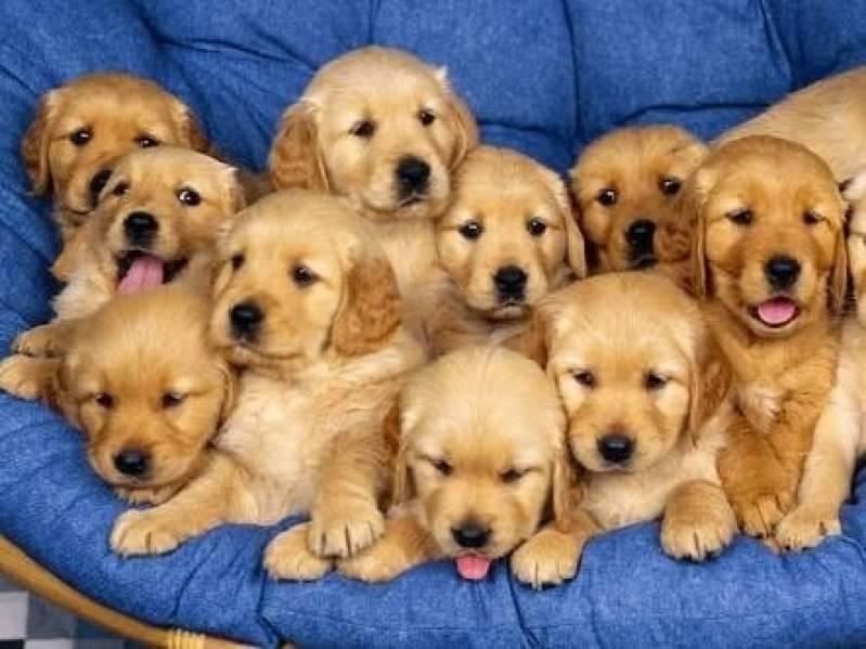 Onde Encontro Creche para Hospedagem de Cães Aldeia da Serra - - Creche de Cachorros Golden