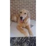 adestrador de cães golden retriever preço Bom Retiro