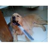 adestrador de cães golden retriever Lapa