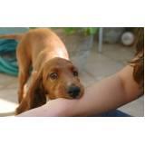 adestrador de cão bravo Butantã