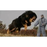 adestradores de cachorros bravos Alto da Lapa