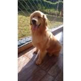 adestradores de cães golden Butantã
