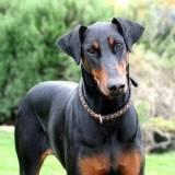 alugar cachorro de guarda Santana de Parnaíba