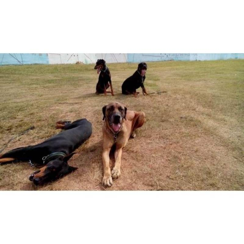alugar cão de segurança preço Jaguaré