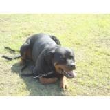 treinamento para cão de guarda