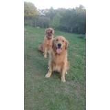 creche de cachorros golden Lapa