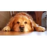 Creche de Cachorros Golden Retriever