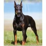curso para adestrar cão bravo Higienópolis