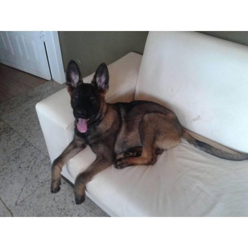 onde alugar cão de segurança Barueri