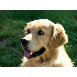 onde encontrar creche de cachorros golden retriever Itapevi