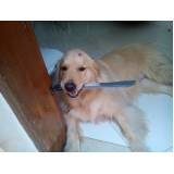 quanto custa adestrador de cães golden retriever Cotia