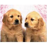 quanto custa creche de cachorros golden retriever Bela Vista