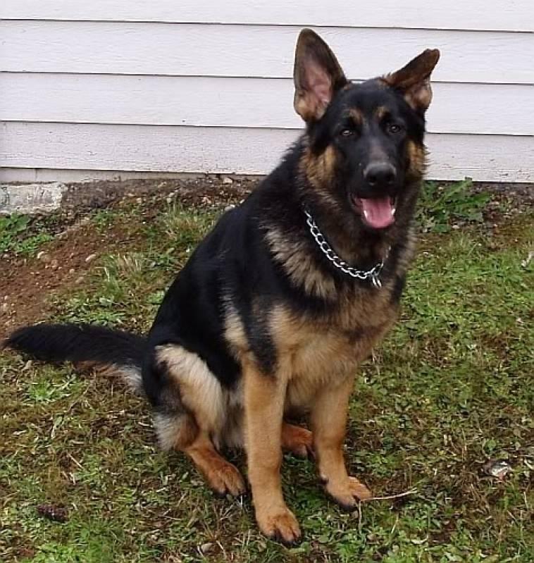 valor de adestrar cachorro beagle Aldeia da serra -