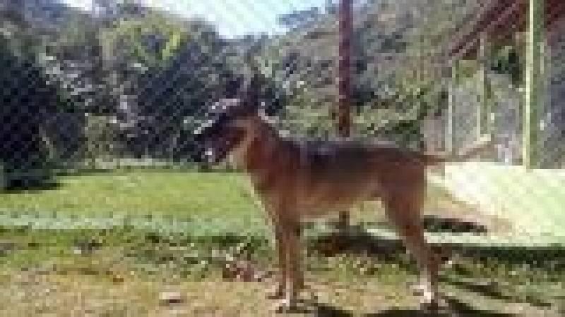 Treinamento de Cão de Guarda Cotia - Treinador de Cão de Guarda