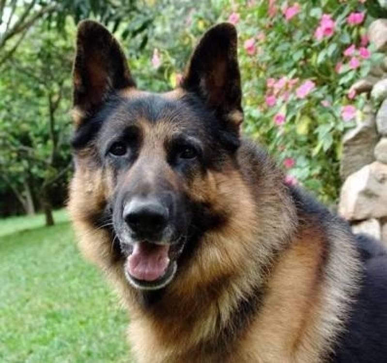Aluguel de Cães de Guarda em São Paulo Preço Butantã - Cachorro de Guarda para Locação