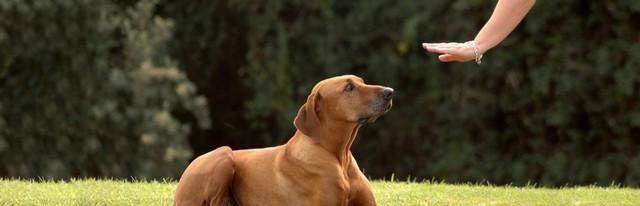 Dan Adestramento - Adestramento em Cachorros