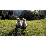 adestramento bulldog inglês Rio Pequeno