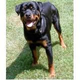 onde encontro curso para adestrar cão bravo Santana de Parnaíba